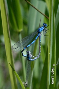 Damselflies in love